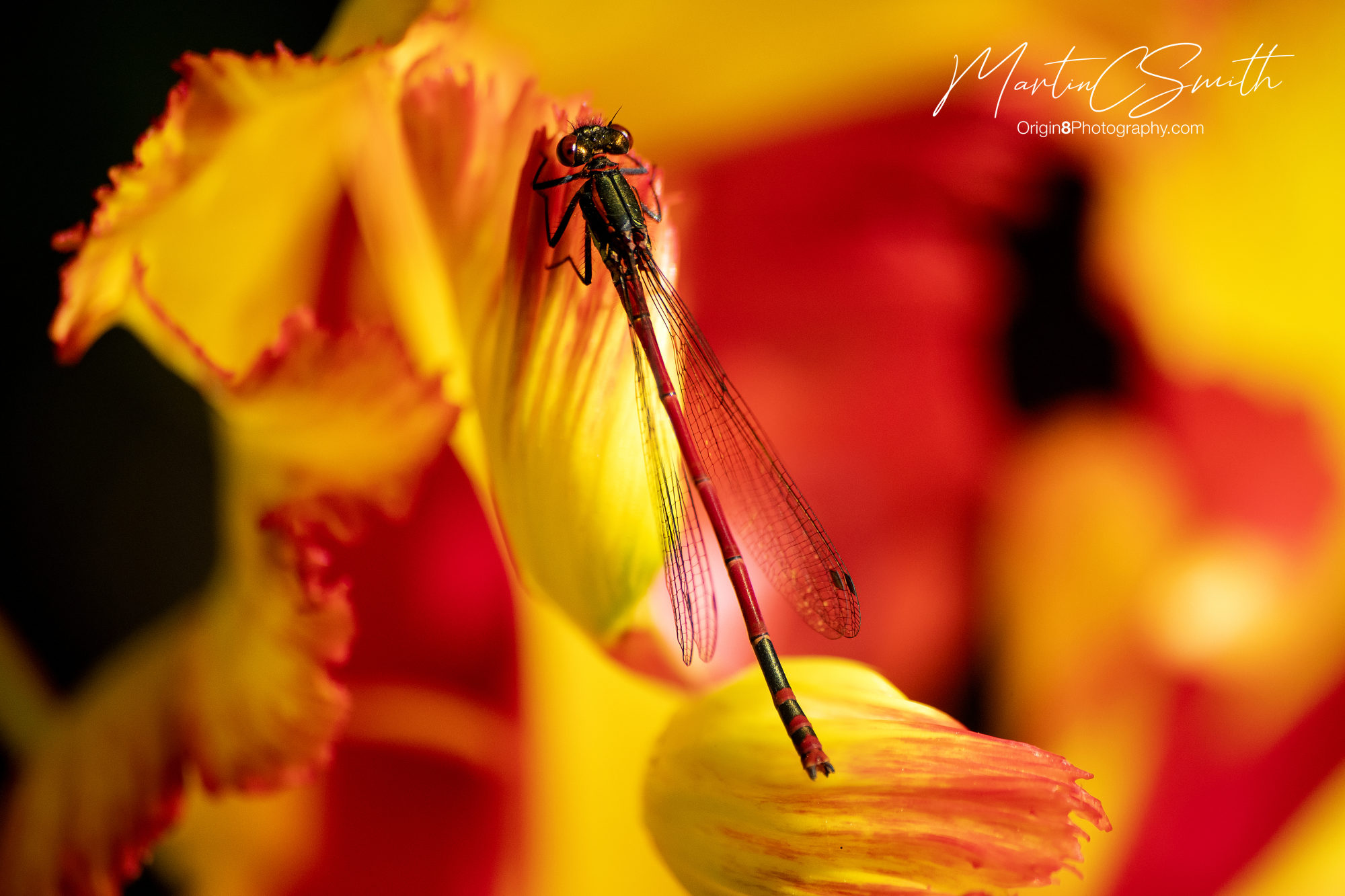 Dragonfly red/yellow