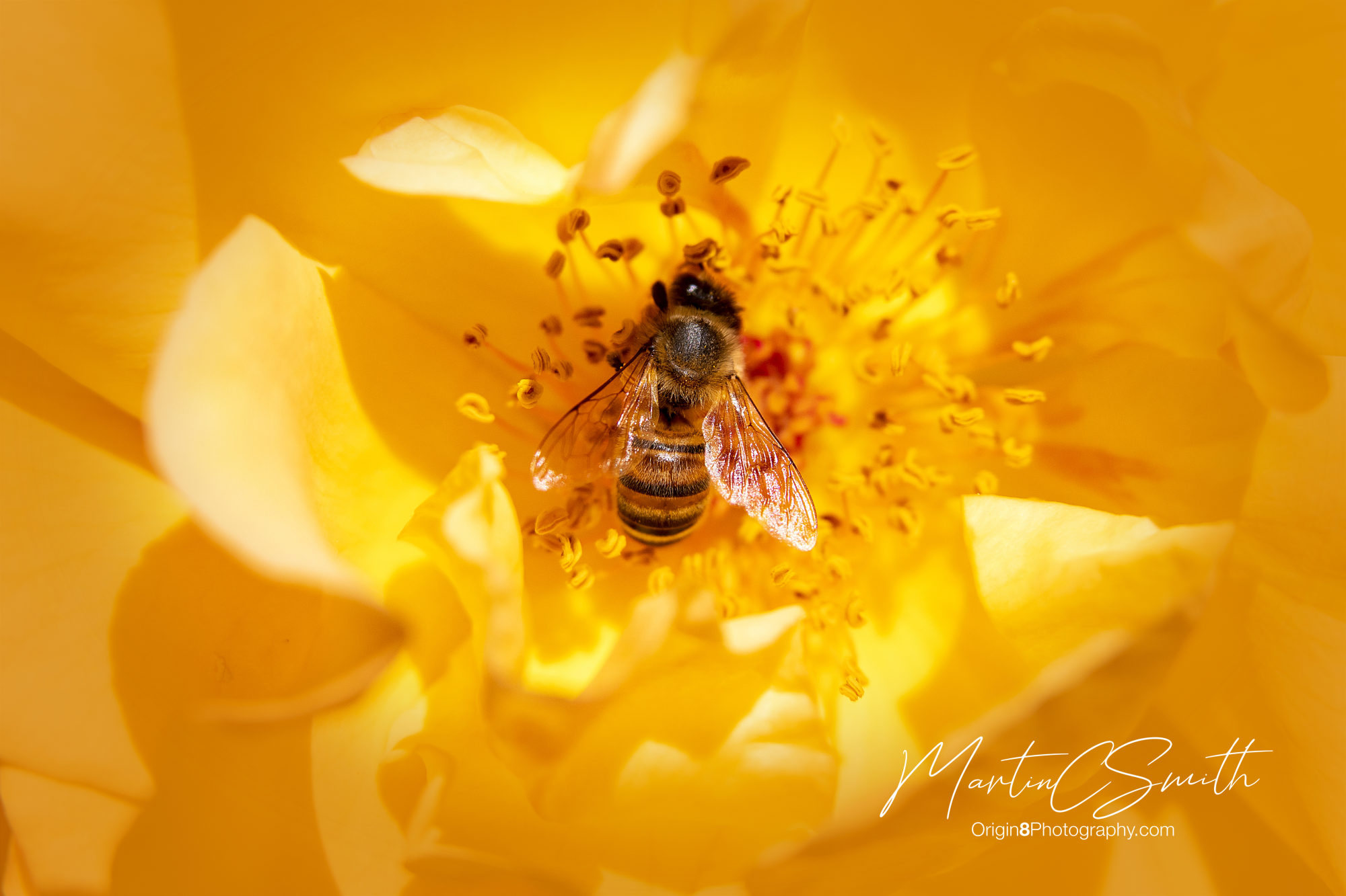 Honey Bee in yellow rose