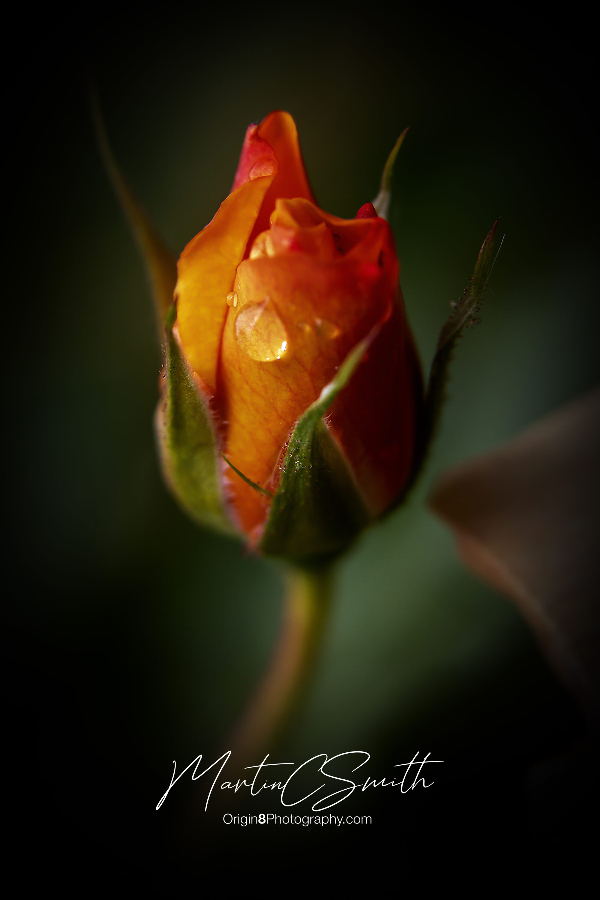 Raindrops on Roses 2
