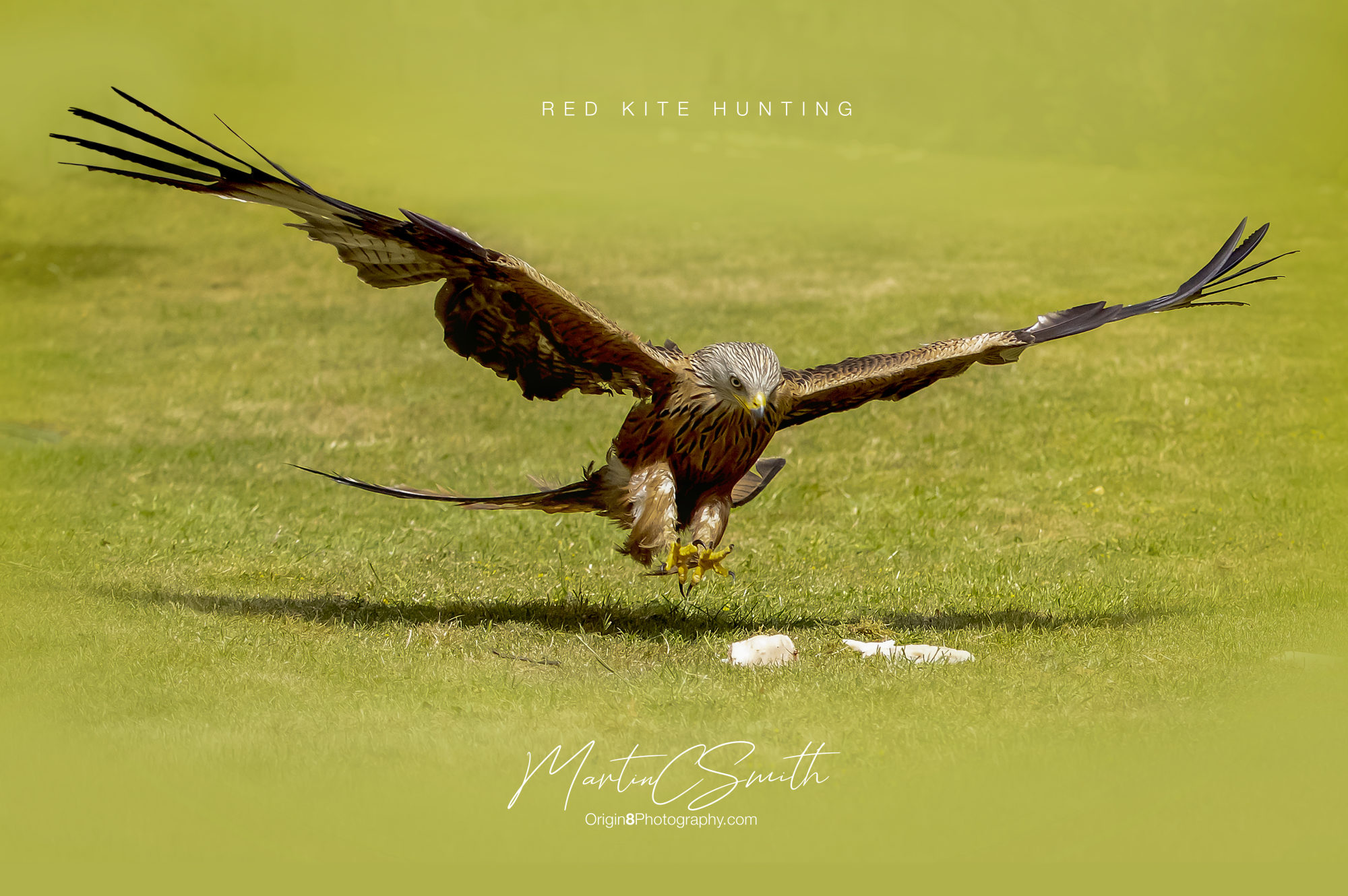 Red Kite hunting