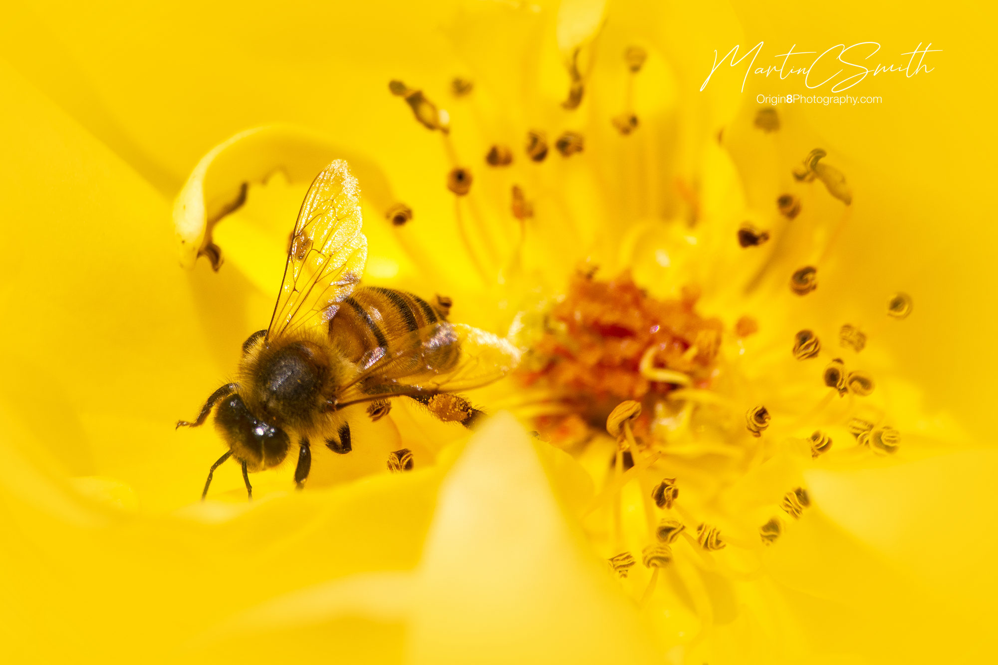 Honeybee / yellow